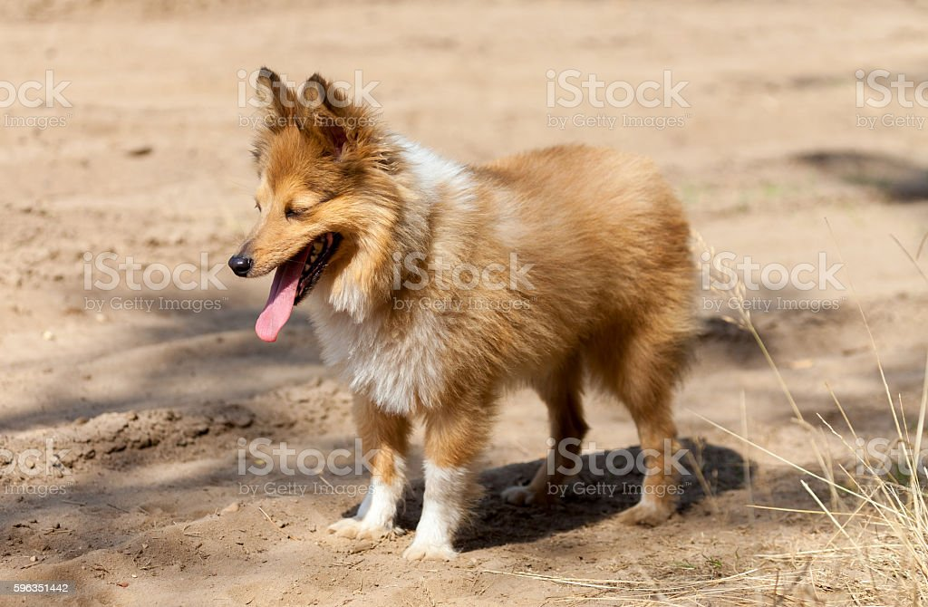 shetland sheepdog stands on dirty track Lizenzfreies stock-foto