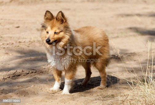 Shetland Sheepdog Stands On Dirty Track Stock Photo & More Pictures of Activity