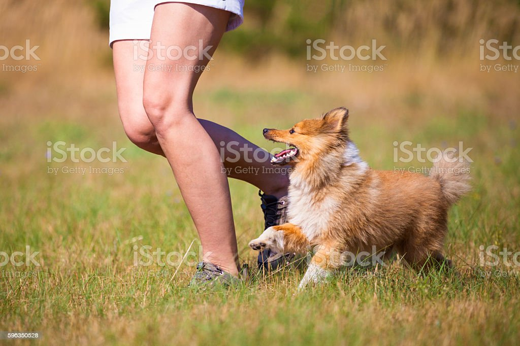 shetland sheepdog walks by a human Lizenzfreies stock-foto