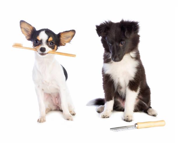 Shetland Sheepdog mit einem Kamm und Chihuahua mit einer Zahnbürste – Foto