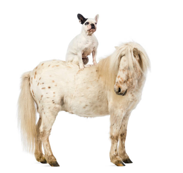 Shetland with a French bulldog sitting on its back in front of white background Shetland with a French bulldog sitting on its back in front of white background pony stock pictures, royalty-free photos & images