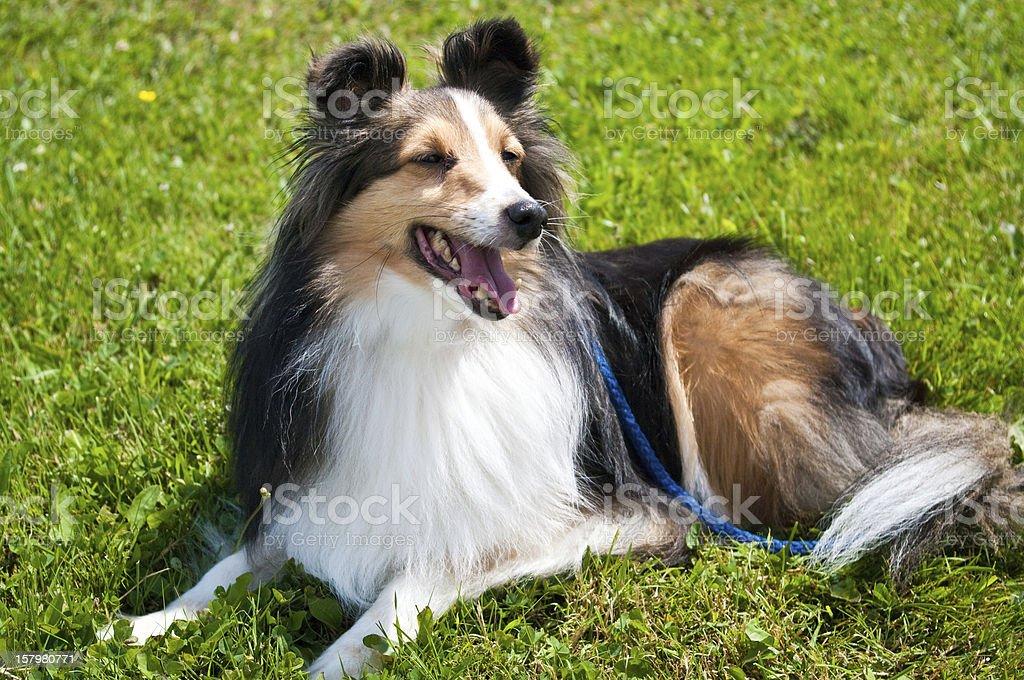 Shetlie on a leash royalty-free stock photo