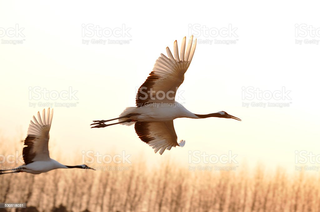 Sheyang Red Crowned Crane Reserve stock photo