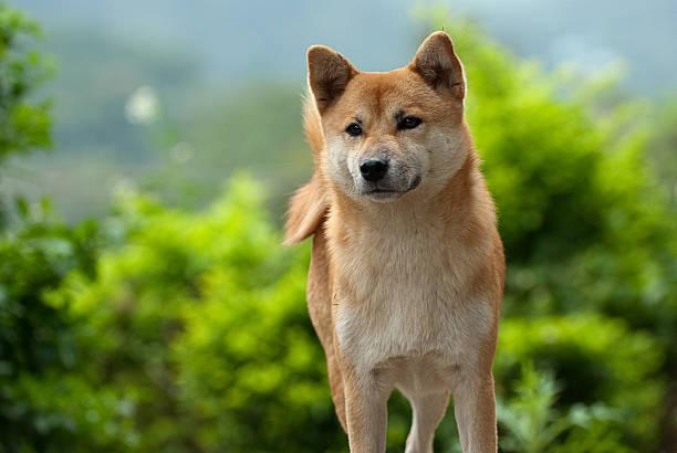 Shiba Inu dog fixating on something it sees stock photo