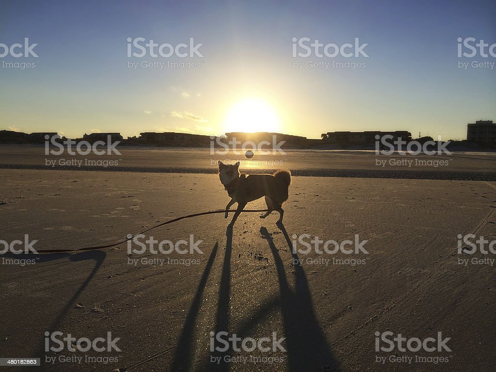 Shiba Inu Dog playing fetch on beach stock photo