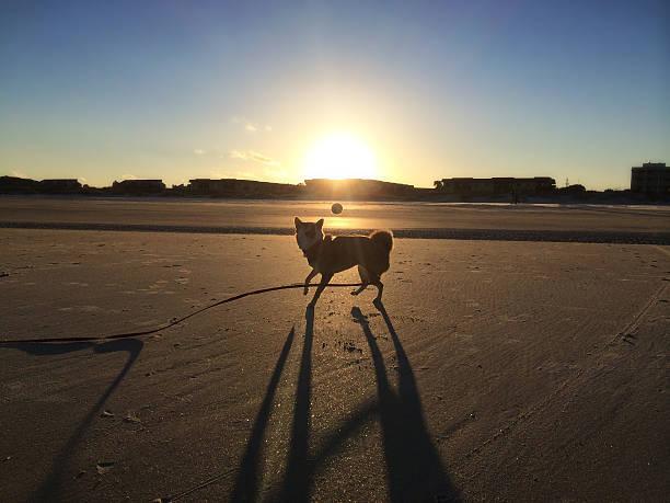 Shiba Inu Dog playing fetch on beach stock photo