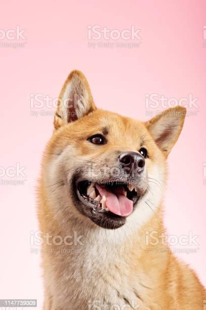 Shiba inu dog posing for the camera picture id1147739309?b=1&k=6&m=1147739309&s=612x612&h=8hxikq0eynch czrnf4khts sv2dcjm 5z tqx5qmsi=
