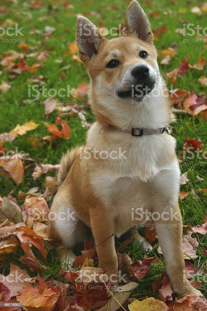 Shiba Inu royalty-free stock photo