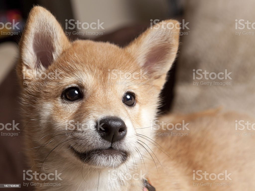 Top Shiba Inu Stock Photos, Pictures And Images