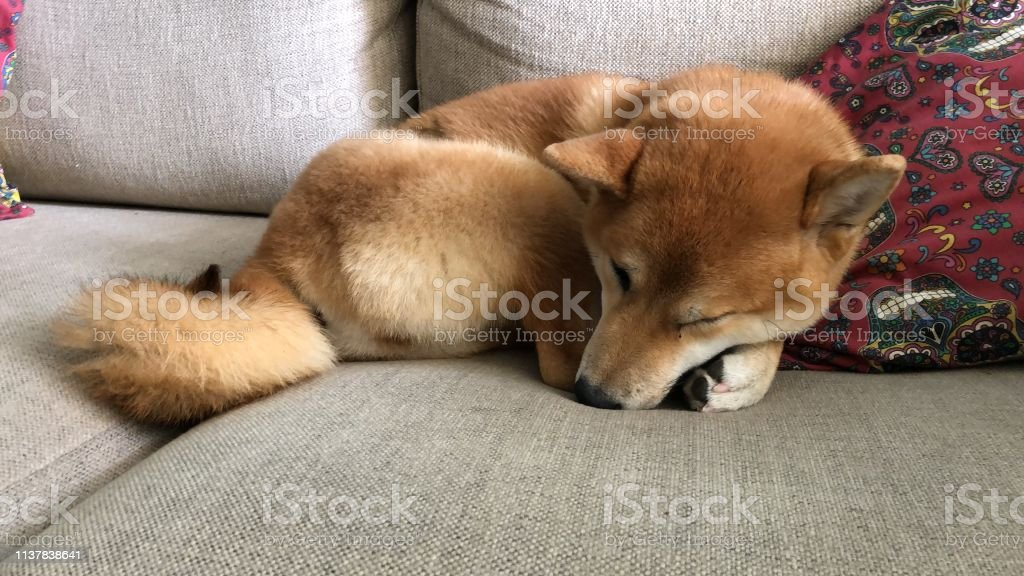 Shiba Inu Puppy Stock Photo Download Image Now Istock
