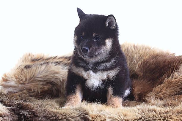 shiba inu cachorro fondo blanco - foto de stock
