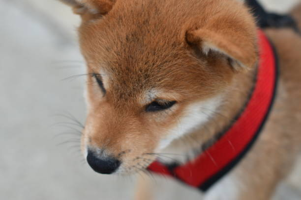shiba inu puppy with harness - steven harrie stock photos and pictures