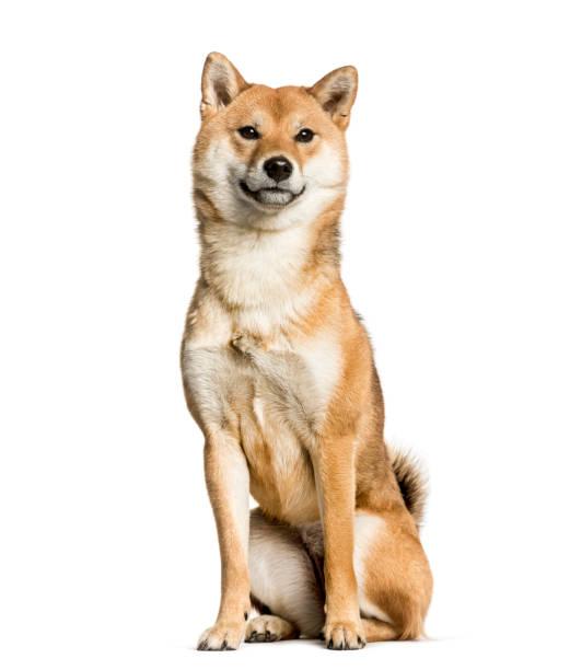 Shiba Inu sitzt vor weißem Hintergrund – Foto