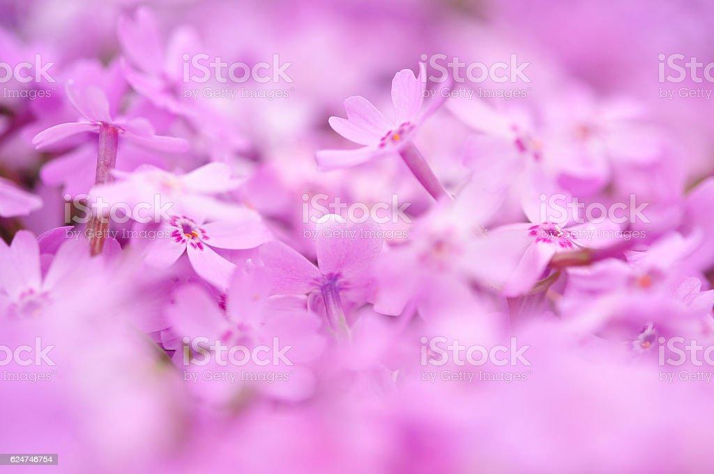 Shibazakura (moss phlox) background stock photo