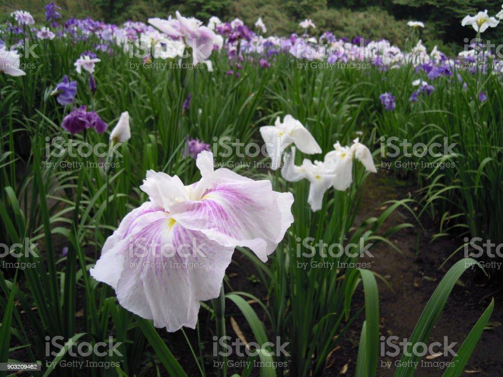 Shidaka Lake Flower iris Appreciation Society stock photo