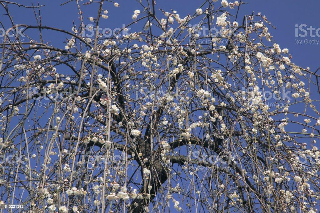 Shidare plum trees stock photo
