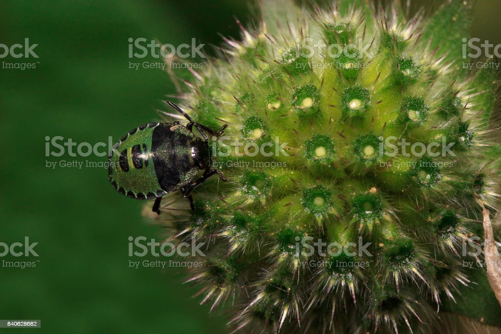 Shield bug are sitting on a flower of pincushion. stock photo