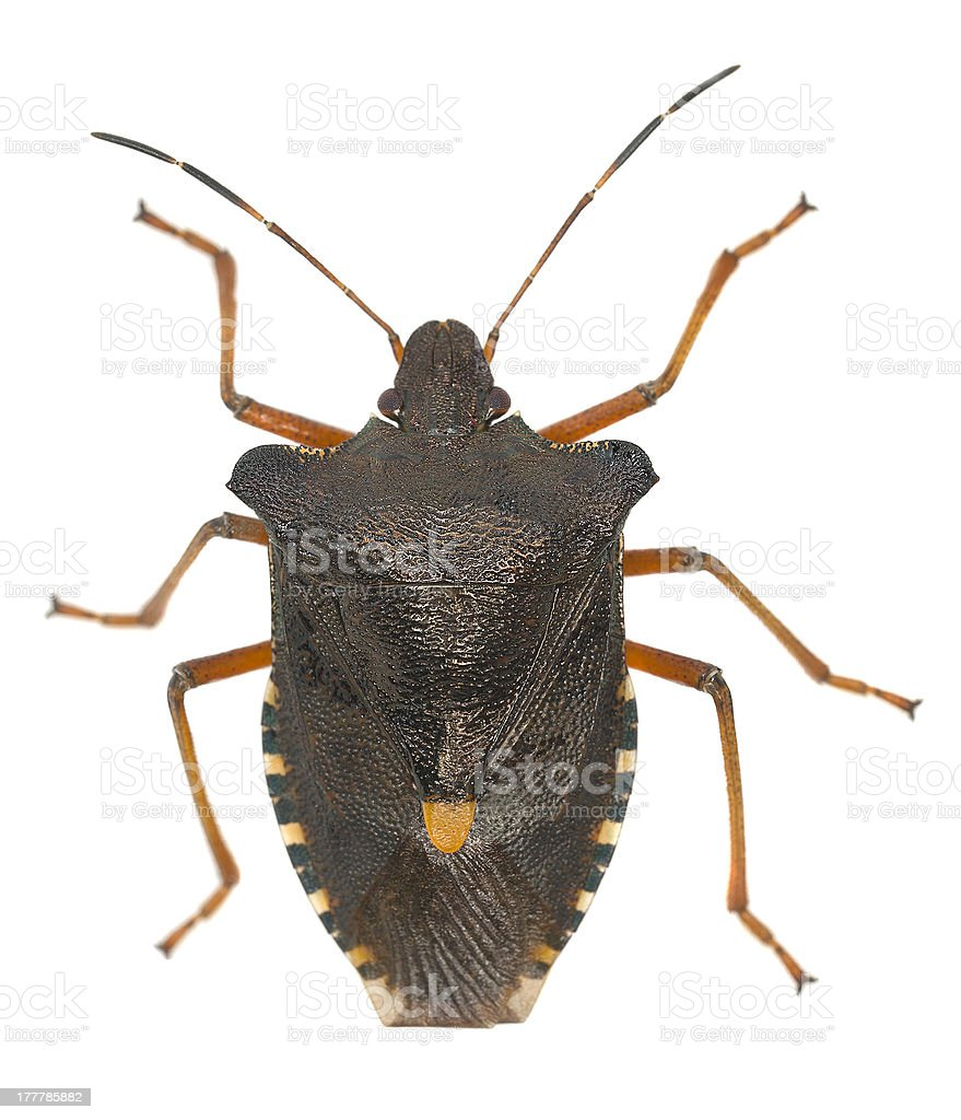 Shield bug isolated on white background, macro photo royalty-free stock photo