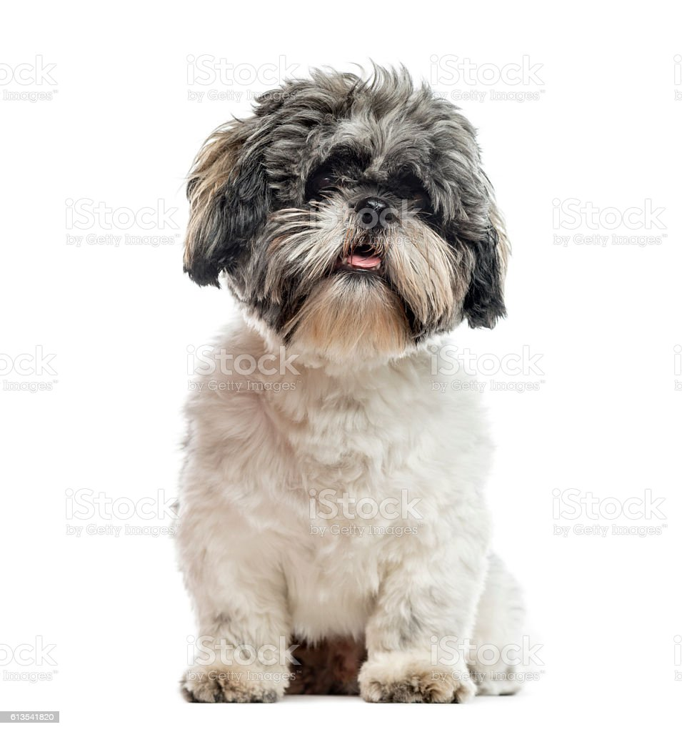 Shih Tzu 1 Year Old Sitting Isolated On White Stock Photo More