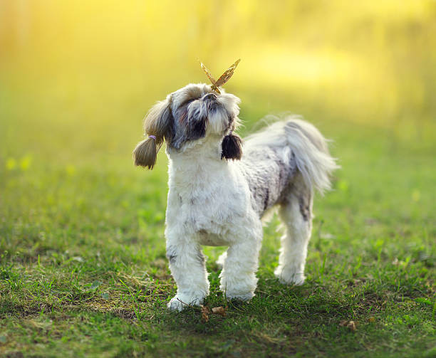 Shih tzu and a butterfly stock photo