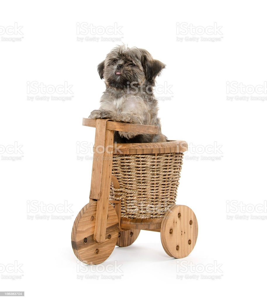 Shih Tzu and wooden trike royalty-free stock photo