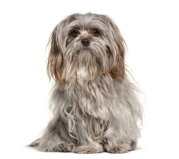 Shih tzu dog 1 year old sitting against white background picture id959888436?b=1&k=6&m=959888436&s=612x612&w=0&h=hyfffay27k4f5tm a8umkmzkurmu6sxymcklptroryw=