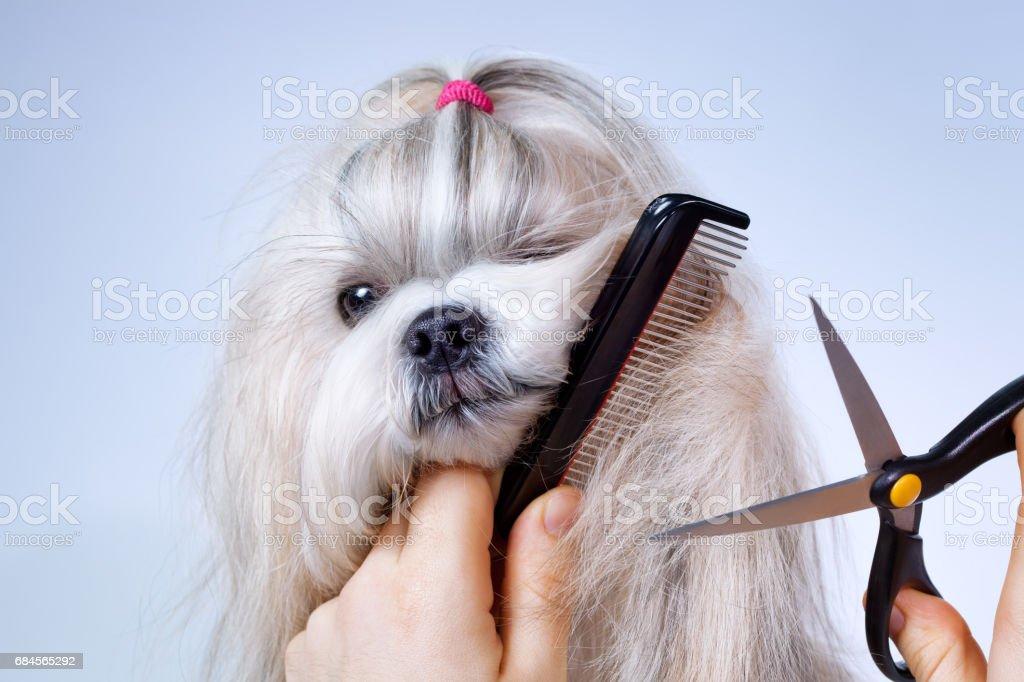 Shih tzu dog grooming stock photo