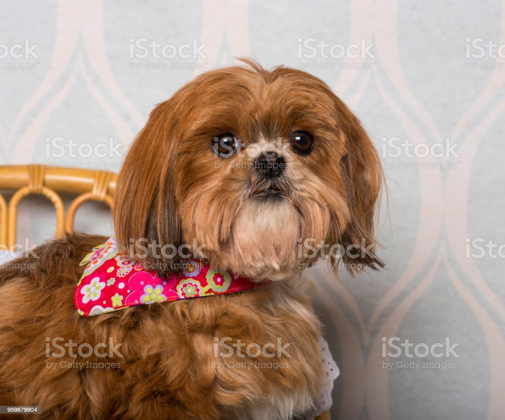 Shih Tzu Dog In Floral Clothing Sitting In Domestic Room Portrait Stock Photo Download Image Now Istock