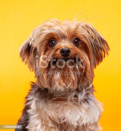 Shih Tzu dog photographed portrait style against a yellow backdrop