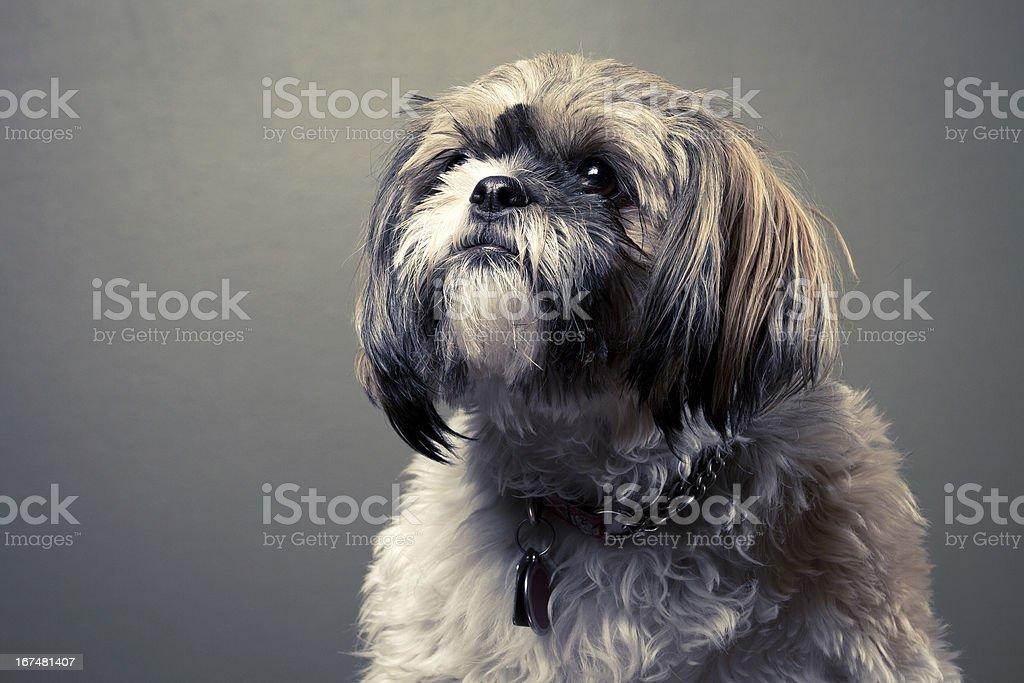 Shih Tzu Dog Portrait royalty-free stock photo