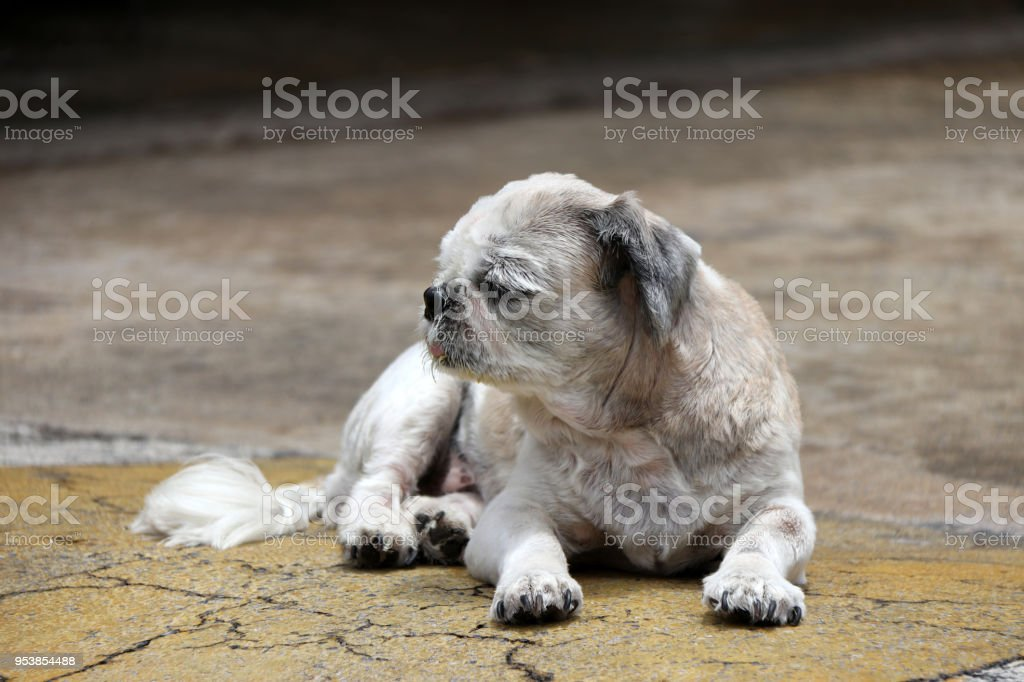 Shih Tzu Dog Short Hair Cut And Laying Down On The Street Floor