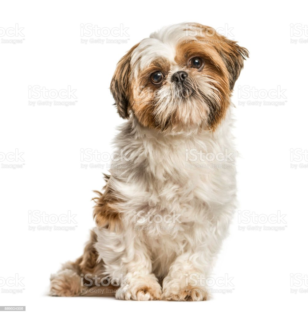 Shih Tzu, dog sitting and looking at the camera, isolated on white stock photo