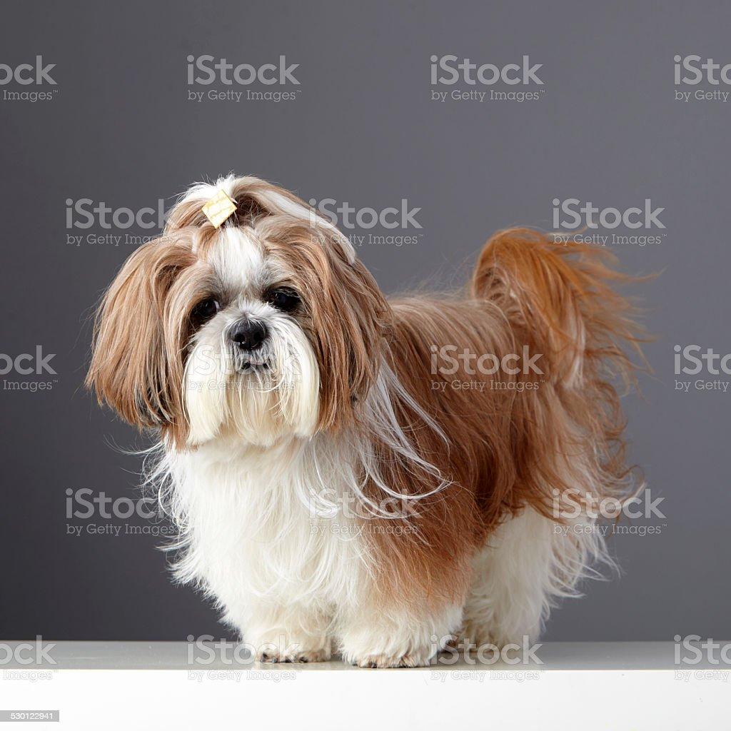 Shih Tzu perro con cola de caballo mirando a la cámara - foto de stock