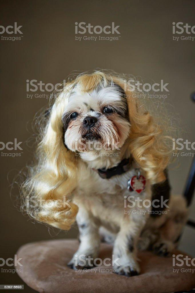Shih tzu in a blonde wig stock photo