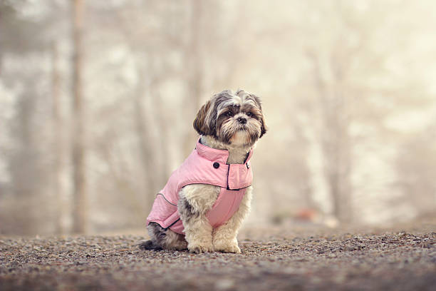 Shih tzu in a jacket Shih tzu posing in a pink winter jacket coat garment stock pictures, royalty-free photos & images