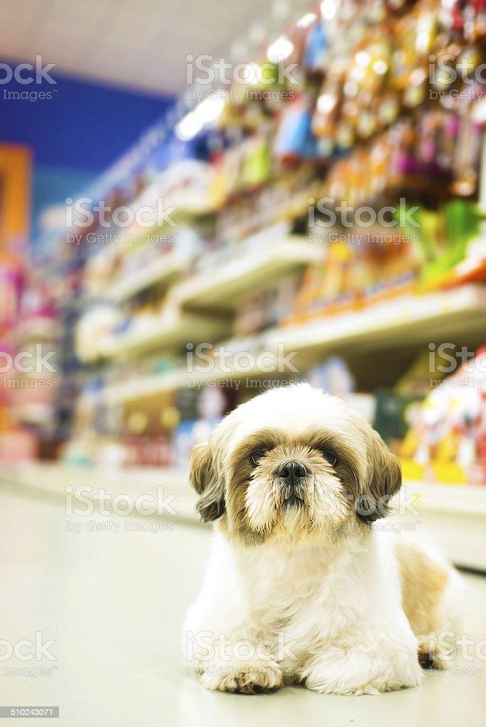 Shih tzu in a Pet Shop stock photo