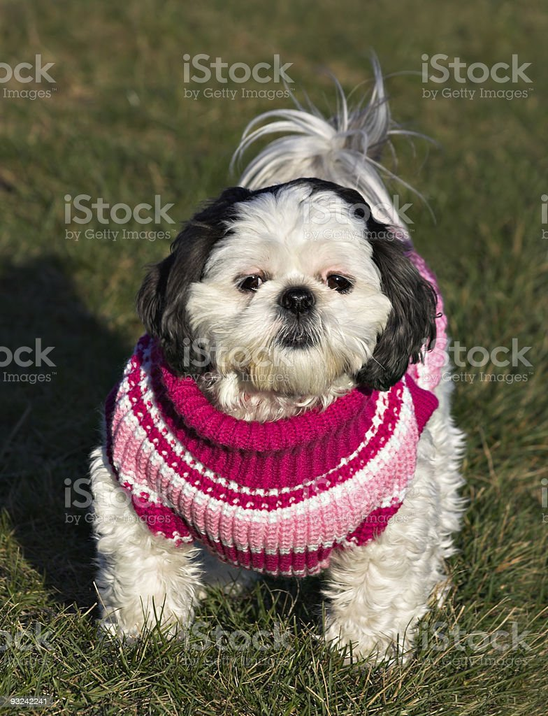 Shih Tzu in a Sweater royalty-free stock photo