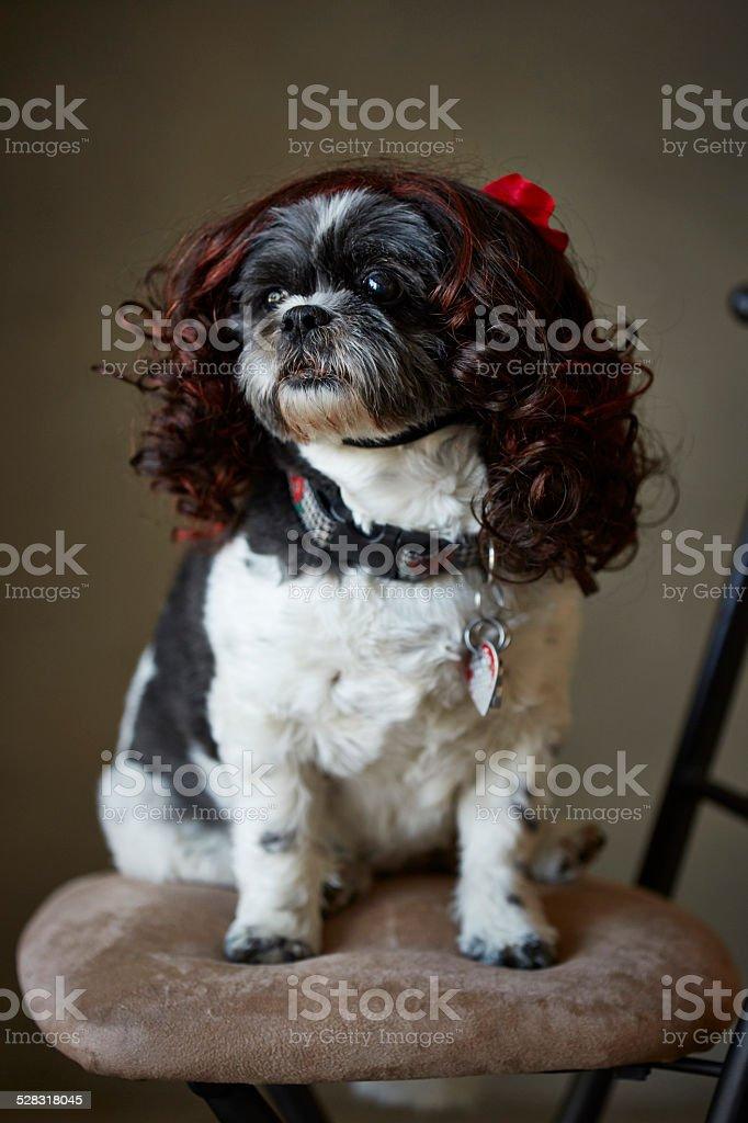 shih tzu in a wig stock photo