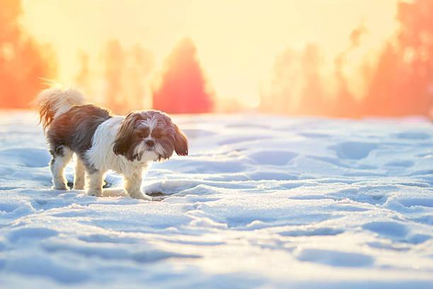 Shih Tzu in Snow stock photo