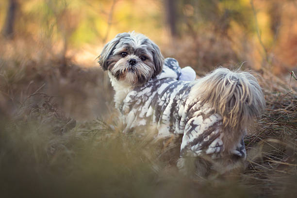 shih tzu in the forest stock photo