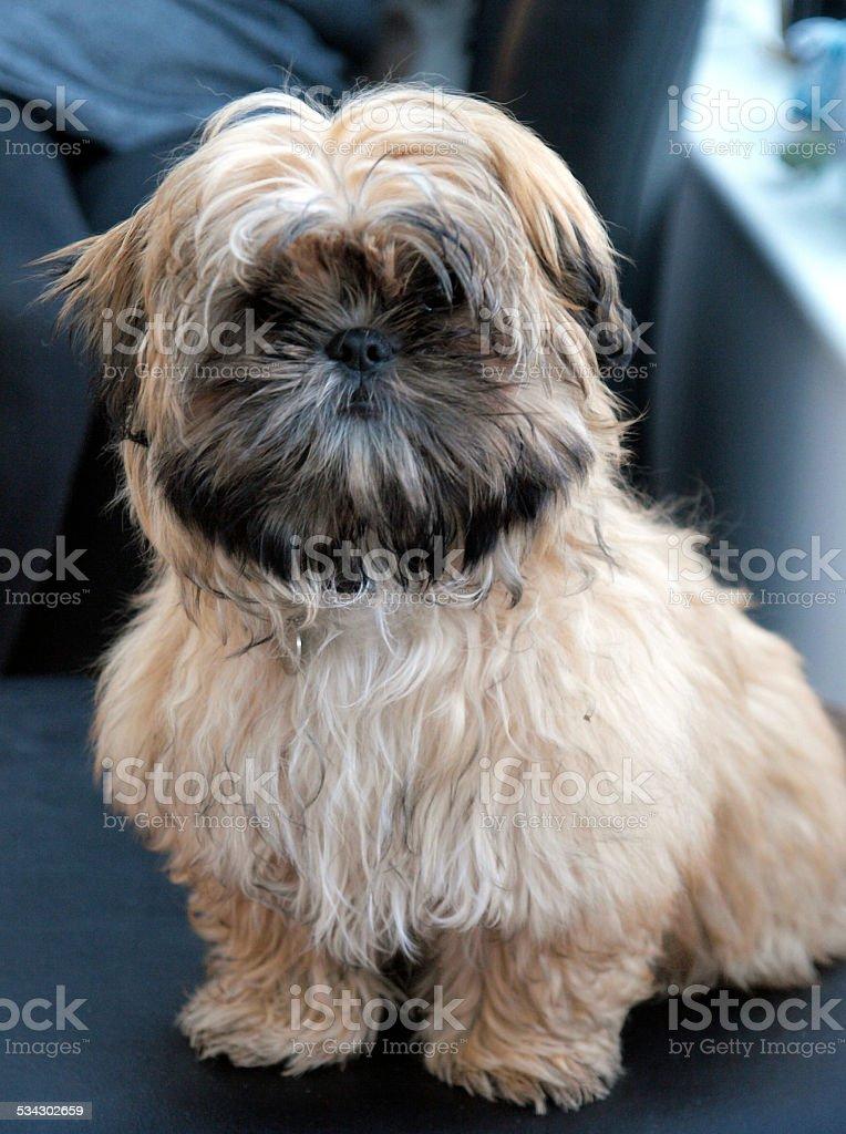 Shih Tzu Or Shitsu Puppy Stock Photo Download Image Now Istock