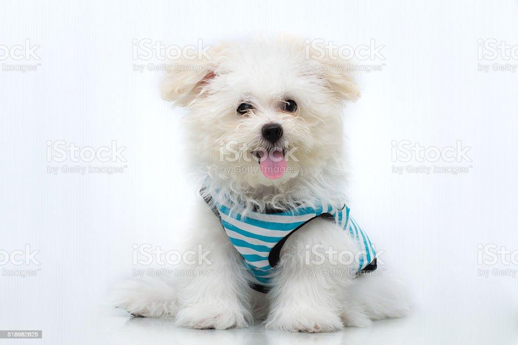 Shih Tzu puppy breed tiny dog , playfulness , loveliness stock photo