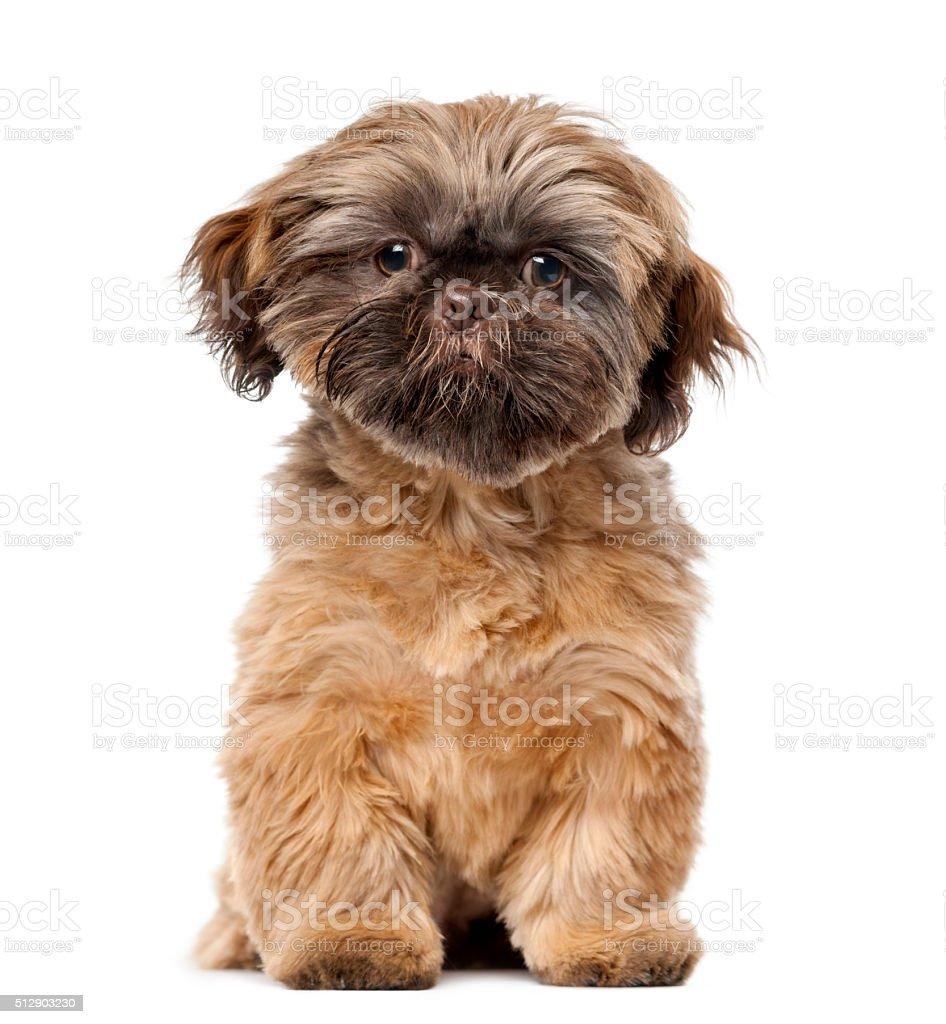 Shih Tzu puppy (5 months old) stock photo