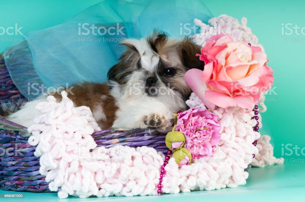 Shih Tzu Puppy Portrait At Studio Stock Photo - Download Image Now
