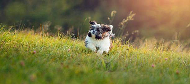 Shih Tzu puppy running in grass stock photo