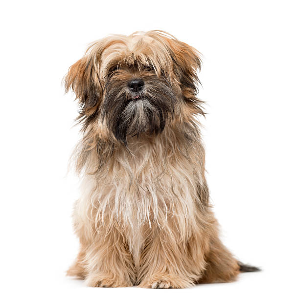 Shih tzu puppy sitting and staring isolated on white picture id613749992?b=1&k=6&m=613749992&s=612x612&w=0&h=bed wbpoqgcogu ytuddvpucrmu7rdztk kg7qwgphc=