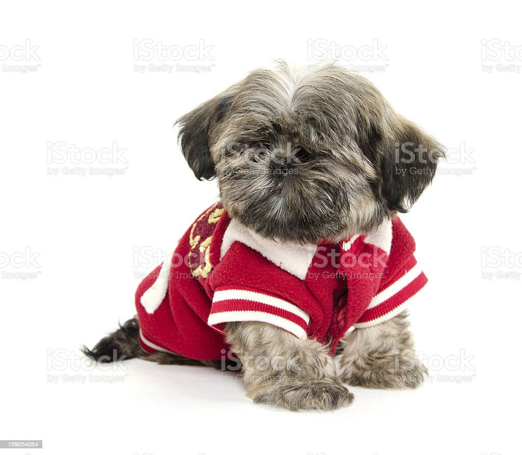 Shih Tzu puppy with football stock photo