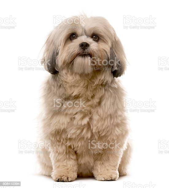 Shih tzu sitting in front of a white background picture id508410394?b=1&k=6&m=508410394&s=612x612&h=edcgve8hpb8n7zqcjexmen0dj xmxnhxvul0dv9tsbu=