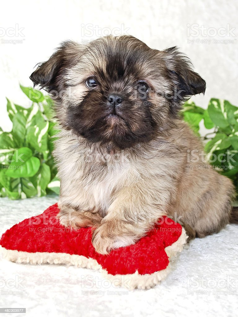 Shihtzu Puppy Stock Photo Download Image Now Istock