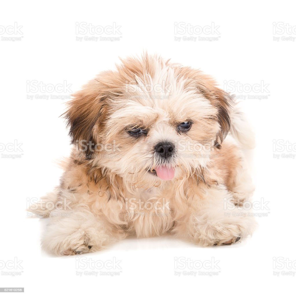 Shihtzu Puppy Posing Isolated On White Background Stock Photo Download Image Now Istock